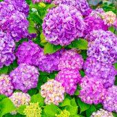 庭の鉢の入れ替え 時期に病気・害虫に強いアジサイの鉢植えがおすすめ