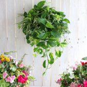 お花だけでなく観葉 植物を使ったハンギングバスケット